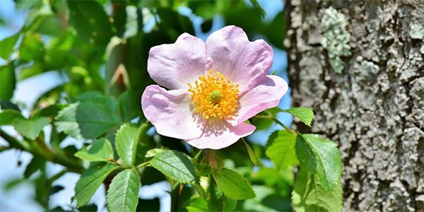rosas para el jardín